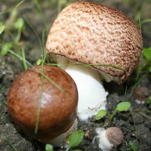 Agaricus Extract Powder (ABM Mushroom / Agaricus blazei)