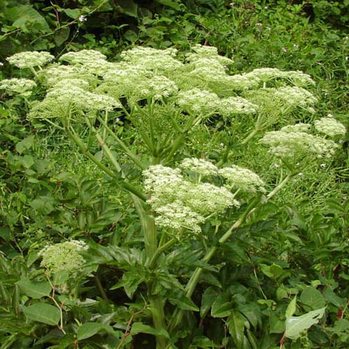 Angelica Root Extract Powder (Dang Gui / Angelica Sinensis)