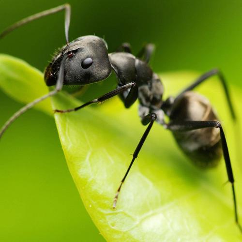 Black Ant Extract Powder (Hei Ma Yi / Polyrhachis vicina Roger)