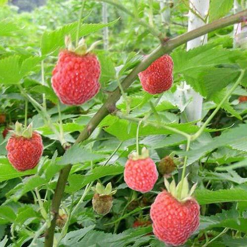 Chinese Raspberry Extract Powder