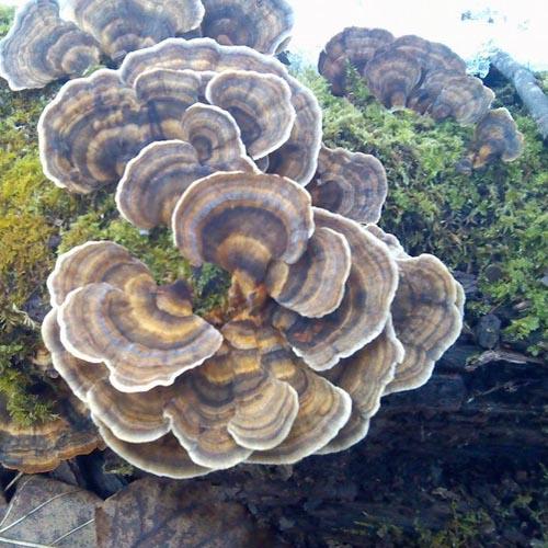 Coriolus versicolor Extract Powder (Yun Zhi - Turkey Tail Mushroom)