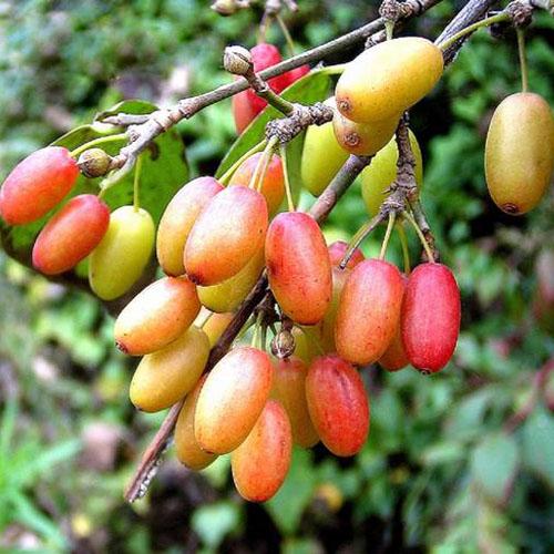 Cornus Fruit Extract Powder (Shan Zhu Yu / Cornus officinalis)