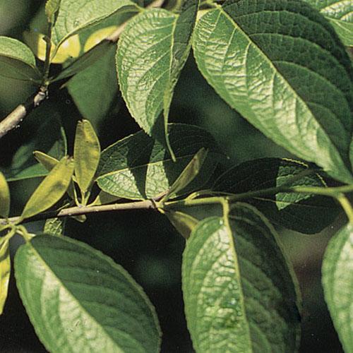 Eucommia Bark Extract Powder (Du Zhong / Eucommia ulmoides)