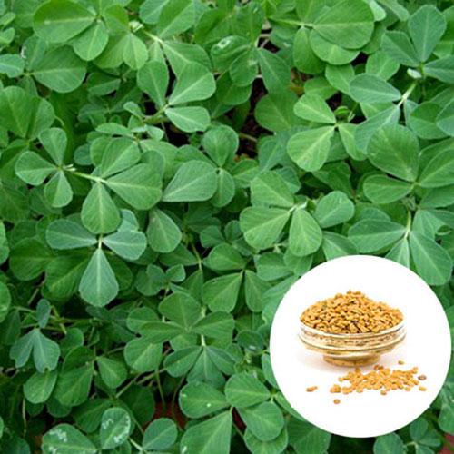 Fenugreek Seed Extract Powder (Hu Lu Ba / Trigonella foenum-graecum)