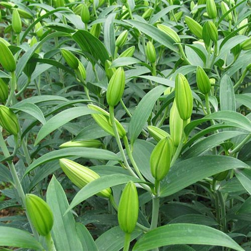 Lily Bulb Extract Powder (Bai He / Lilium brownii)