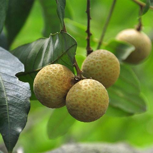 Longan Fruit Extract Powder (Long Yan Rou / Arillus Longan)