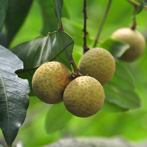 Longan Fruit Extract Powder - Novoherb