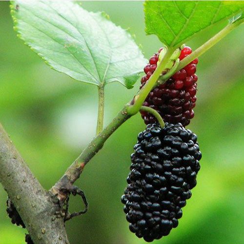 Mulberry Fruit Juice Powder (Sang Shen / Morus Fruit)