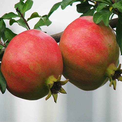 Pomegranate Fruit Juice Powder (Shi Liu / Punica granatum)