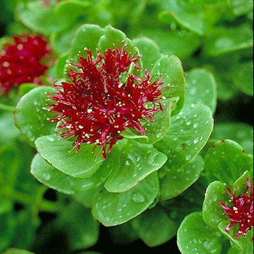Rhodiola Rosea Extract Powder (Hong Jing Tian / Golden root)
