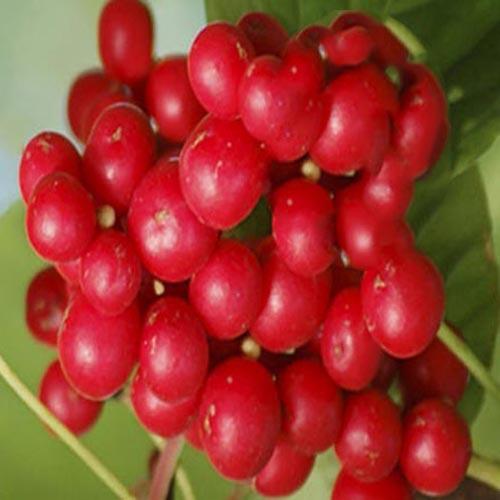 Schisandra Berry Extract Powder (Wu Wei Zi / Schisandra chinensis)
