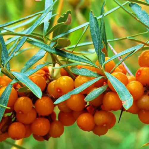 Sea Buckthorn Berry Fruit Juice Powder (Sha Ji - Hippophae rhamnoides)