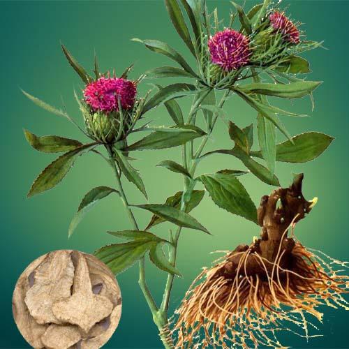 White Atractylodes Extract Powder (Bai Zhu / Atractylodes Macrocephalae)
