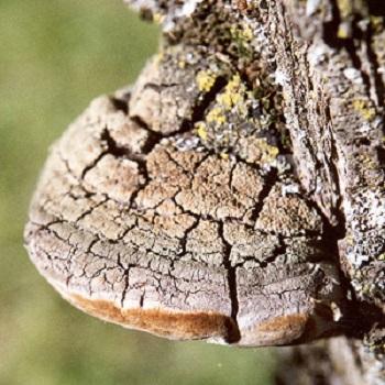 Meshima Medicinal Mushroom (Phellinus linteus)