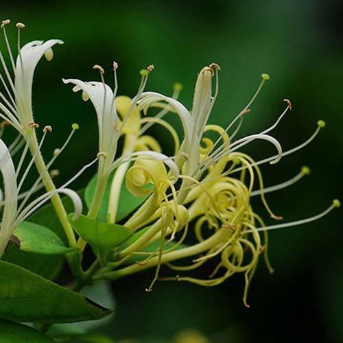 Honeysuckle Flower Extract Powder