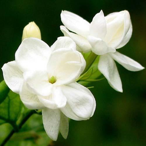 Jasmine Flower Extract Powder