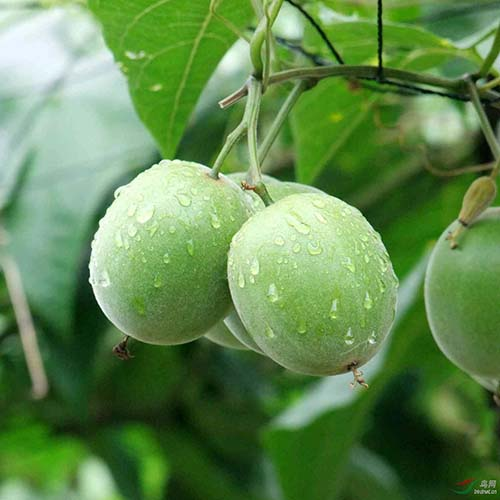 Monk Fruit (Luo Han Guo) Extract Powder