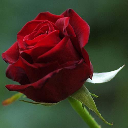 Rose Flower Tea Extract Powder